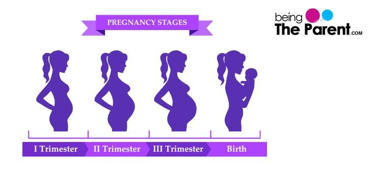 3 Trimesters Of Pregnancy