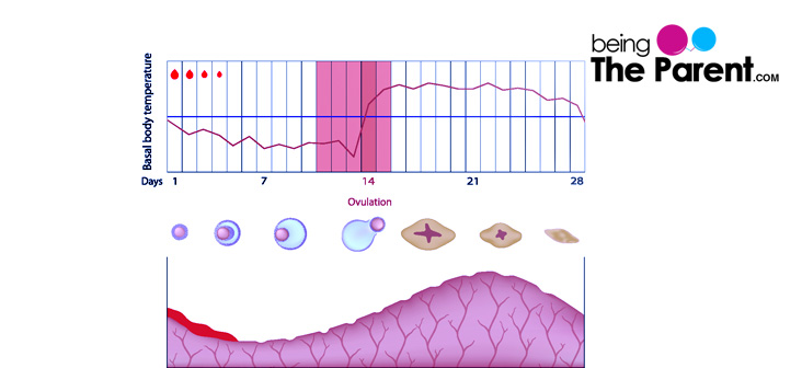 triphasic-chart