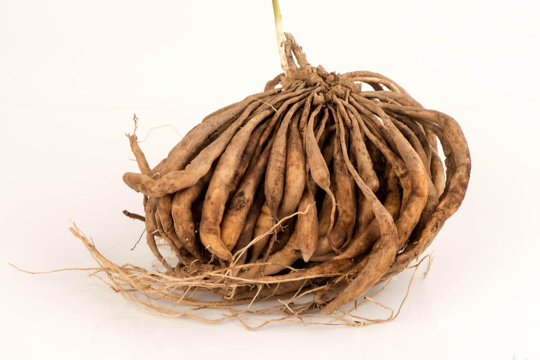 Shatavari or Asparagus Racemosus roots