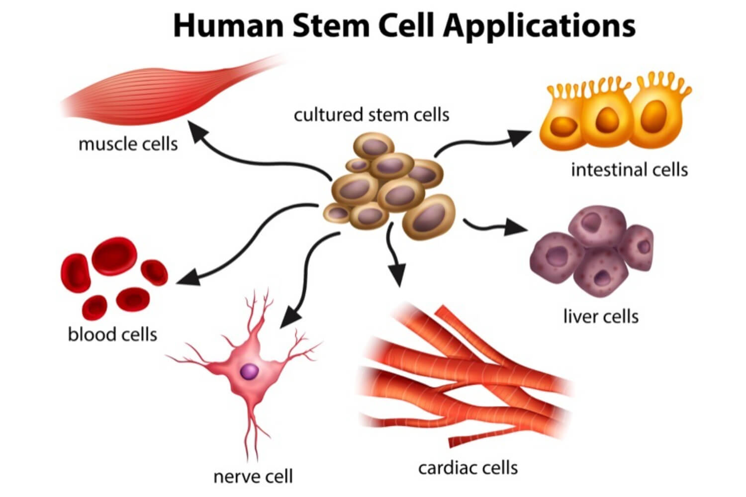 stem cell application in human body