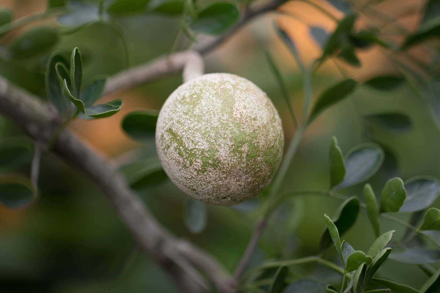 Wood Apple During Pregnancy Wood Apple During Pregnancy Benefits and Side Effects