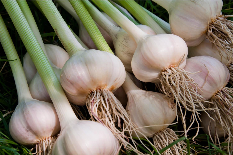 heap of garlics during pregnancy